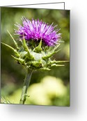 Green Artichoke Greeting Cards - Artichoke Thistle 3 Greeting Card by Kelley King