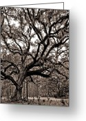 Duotone Greeting Cards - Artistic Old Oak Greeting Card by Phill  Doherty