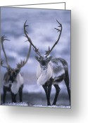 Horns Greeting Cards - As The Weather Becomes Cooler Greeting Card by Paul Nicklen