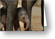 Newborn Greeting Cards - Asian Elephant Baby Greeting Card by Julie L Hoddinott