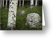 Dreary Greeting Cards - Aspen Bark Greeting Card by Dave Dilli