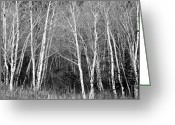 Aspen Trees Greeting Cards - Aspen Forest Black and White Print Greeting Card by James Bo Insogna