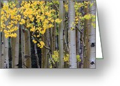 Gore Greeting Cards - Aspen Gold Greeting Card by Adam Pender
