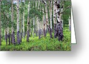 Rocky Mountain National Park Greeting Cards Greeting Cards - Aspen Greeting Card by Jon Burch Photography