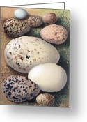 Skua Greeting Cards - Assorted Birds Eggs, Historical Art Greeting Card by Sheila Terry