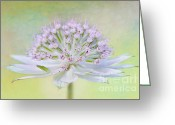 Textured Floral Greeting Cards - Astrantia Art Greeting Card by Jacky Parker