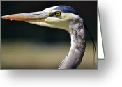 Blue Heron Photo Greeting Cards - Astute Greeting Card by Fraida Gutovich
