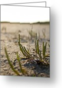 Fiddler Crab Greeting Cards - Atlantic Marsh Fiddler Crab Greeting Card by Justin Ellis
