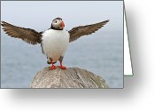 Seal Greeting Cards - Atlantic Puffin Greeting Card by Image by Michael Rickard