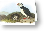 Sea Bird Greeting Cards - Atlantic Puffin Greeting Card by John James Audubon