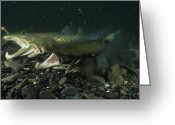 Animal Life Cycles Greeting Cards - Atlantic Salmon Releasing Milt And Eggs Greeting Card by Paul Nicklen