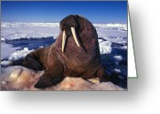 Laziness Greeting Cards - Atlantic Walrus O. Rosmarus Rosmarus Greeting Card by Nick Norman