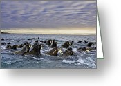 Walruses Greeting Cards - Atlantic Walruses Migrating From Russia Greeting Card by Paul Nicklen