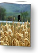 Red Wing Blackbird Greeting Cards - Atop the Cattails Greeting Card by Jenny May