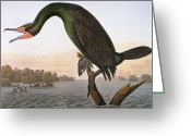 Phalacrocorax Auritus Greeting Cards - Audubon: Cormorant Greeting Card by Granger
