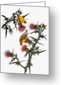 Illustration Greeting Cards - Audubon: Goldfinch Greeting Card by Granger
