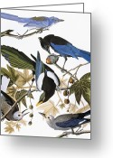 Scrub Greeting Cards - Audubon: Jay And Magpie Greeting Card by Granger