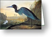 Crane Greeting Cards - Audubon: Little Blue Heron Greeting Card by Granger