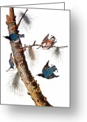 Artcom Greeting Cards - Audubon: Nuthatch Greeting Card by Granger