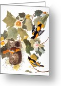 Artcom Greeting Cards - Audubon: Oriole Greeting Card by Granger
