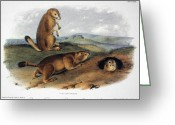 Prairie Dog Greeting Cards - Audubon: Prairie Dog, 1844 Greeting Card by Granger