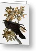 Illustration Greeting Cards - Audubon: Raven Greeting Card by Granger