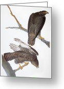 Red-tailed Hawk Greeting Cards - Audubon: Red-tailed Hawk Greeting Card by Granger