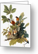 Artcom Greeting Cards - Audubon: Robin Greeting Card by Granger