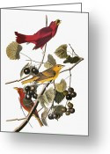 Artcom Greeting Cards - Audubon: Tanager Greeting Card by Granger