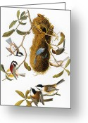 Titmouse Greeting Cards - Audubon: Titmouse Greeting Card by Granger
