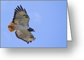 Buzzard Wings Greeting Cards - Auger Buzzard Greeting Card by Gary Maynard