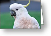 Black Beak Greeting Cards - Australian Birds - Cockatoo Greeting Card by Kaye Menner