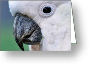 Black Beak Greeting Cards - Australian Birds - Cockatoo up close Greeting Card by Kaye Menner