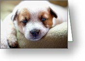 Tired Greeting Cards - Australian Cattle Puppy Greeting Card by Jeffrey L. Jaquish ZingPix.com
