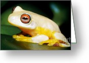 Red-eyed Frogs Greeting Cards - Australian Red-eyed Treefrog Greeting Card by Dante Fenolio