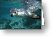 Australian Animal Greeting Cards - Australian Sea Lion Neophoca Cinerea Greeting Card by Hiroya Minakuchi