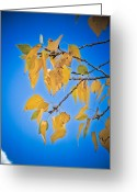 Fall Photographs Greeting Cards - Autumn Aspen Leaves and Blue Sky Greeting Card by James Bo Insogna