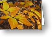 Leaves Photographs Greeting Cards - Autumn Beech  Greeting Card by Michael Peychich