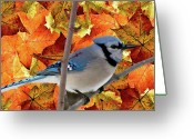 Colors Of Autumn Greeting Cards - Autumn Blue Jay Greeting Card by Debra     Vatalaro