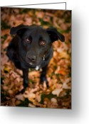 Black Lab Puppy Greeting Cards - Autumn Dog Greeting Card by Adam Romanowicz