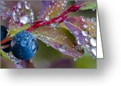 Huckleberry Greeting Cards - autumn Huckleberry berry and leaves macro in autumn Greeting Card by Ed Book