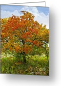 Canopy Greeting Cards - Autumn maple tree Greeting Card by Elena Elisseeva