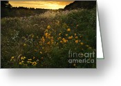 Indiana Autumn Greeting Cards - Autumn Wildflower Sunset - D007757 Greeting Card by Daniel Dempster