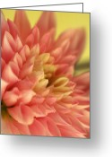 Pink Framed Prints Greeting Cards - Awakened Greeting Card by Kathy Yates