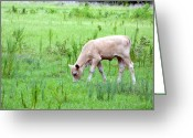 Calf Greeting Cards Greeting Cards - Baby Calf Greeting Card by Ester  Rogers