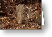 Playful Kitten Greeting Cards - Baby Canada Lynx Stalking a Squirrel Greeting Card by Inspired Nature Photography By Shelley Myke