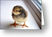 Livestock Greeting Cards - Baby Chick Greeting Card by JayneBurfordPhotography
