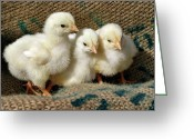 Sandy Keeton Greeting Cards - Baby Chicks Greeting Card by Sandy Keeton