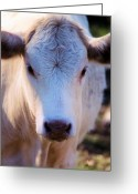 Charolais Greeting Cards - Baby Face Greeting Card by Jan Amiss Photography