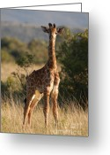 South Africa Greeting Cards - Baby Giraffe Greeting Card by Andy Smy